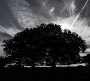 Silhouette de chênes image stock