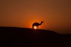 Silhouette de chameau Photographie stock libre de droits
