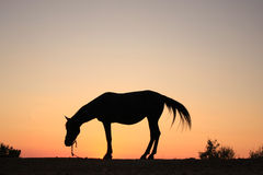 Silhouette de cheval Images stock