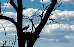 Silhouette de cigogne dans le nid au-dessus de l'arbre sec, Badajoz, Espagne Photo libre de droits