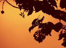 Silhouette de coléoptère de Longhorn Photos stock
