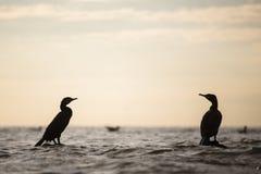 Silhouette de Cormorant Photographie stock