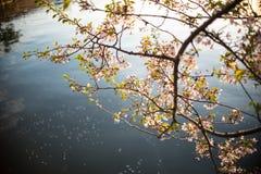 Silhouette de coucher du soleil chez Cherry Blossom Festival Photo libre de droits