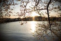 Silhouette de coucher du soleil chez Cherry Blossom Festival Photographie stock libre de droits