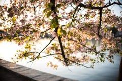 Silhouette de coucher du soleil chez Cherry Blossom Festival Photo stock