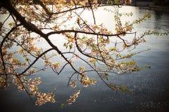 Silhouette de coucher du soleil chez Cherry Blossom Festival Photographie stock