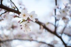 Silhouette de coucher du soleil chez Cherry Blossom Festival Photos stock