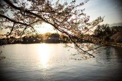 Silhouette de coucher du soleil chez Cherry Blossom Festival Photos libres de droits