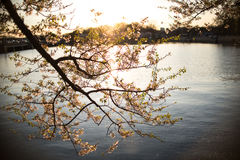Silhouette de coucher du soleil chez Cherry Blossom Festival Images libres de droits
