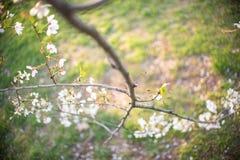 Silhouette de coucher du soleil chez Cherry Blossom Festival Image libre de droits