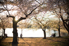 Silhouette de coucher du soleil chez Cherry Blossom Festival Image stock