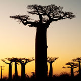 Silhouette de coucher du soleil de baobab Photos libres de droits