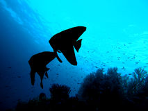 Silhouette de couples de poissons - Batfish de Longfin Photographie stock