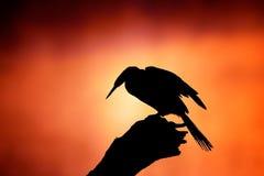 Silhouette de Darter avec le lever de soleil brumeux Images libres de droits