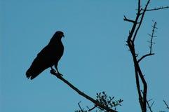 Silhouette de faucon image stock