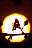 Silhouette de fleur contre Sun image libre de droits