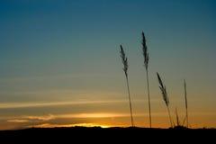 Silhouette de fleur d'herbe Photos libres de droits