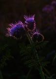 Silhouette de fleur de phacelia Photographie stock