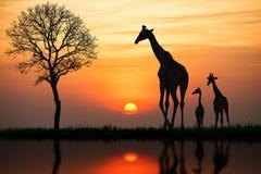 Silhouette de girafe Photos libres de droits