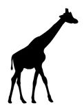 Silhouette de girafe Photo stock