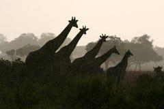 Silhouette de giraffe Photographie stock libre de droits
