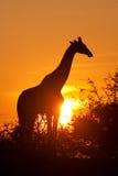 Silhouette de giraffe Images libres de droits