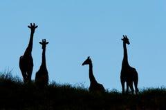Silhouette de giraffe Photos libres de droits