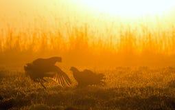 Silhouette de grouse noire de Lekking (tetrix de Lyrurus) contre le ciel d'aube Contre-jour de début de la matinée Birkhuhn, grou Image stock