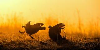 Silhouette de grouse noire de Lekking (tetrix de Lyrurus) contre le ciel d'aube Contre-jour de début de la matinée Birkhuhn, grou Photos stock
