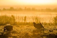 Silhouette de grouse noire de Lekking (tetrix de Lyrurus) contre le ciel d'aube Contre-jour de début de la matinée Birkhuhn, grou Images stock