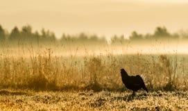 Silhouette de grouse noire de Lekking (tetrix de Lyrurus) contre le ciel d'aube Contre-jour de début de la matinée Birkhuhn, grou Photographie stock