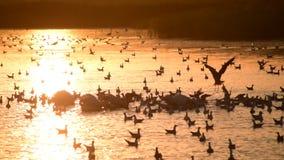 Silhouette de héron descendant sur l'eau parmi des pélicans et des mouettes banque de vidéos