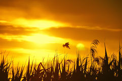 Silhouette de l'oiseau et de l'herbe au coucher du soleil Photographie stock libre de droits