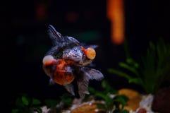 Silhouette de la petite fille asiatique touchant sur le verre d'aquarium photos stock