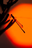 Silhouette de libellule Photos stock