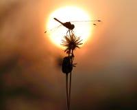 Silhouette de libellule images libres de droits