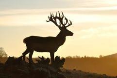 Silhouette de mâle de cerfs communs rouges Photographie stock libre de droits