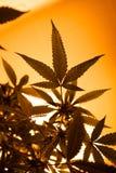Silhouette de marijuana de lumière jaune image libre de droits
