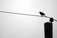 Silhouette de merle sur le fil de téléphone Photographie stock libre de droits