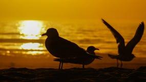 Silhouette de mouette pendant le lever de soleil Photographie stock