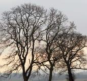 Silhouette de paysage de chênes Photos stock