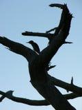 Silhouette de pivert Photo libre de droits