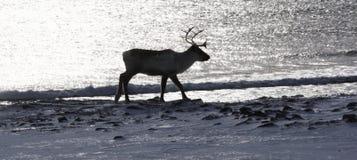 Silhouette de renne près de la mer Image stock