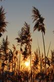 Silhouette de roseau Photo stock