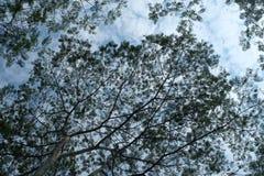 Silhouette de treee d'albasia photo stock