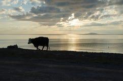 Silhouette de vache par la plage Images stock