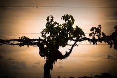 Silhouette de vigne photo stock