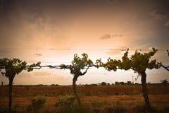 Silhouette de vigne Photographie stock libre de droits