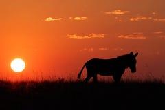 Silhouette de zèbre Images stock