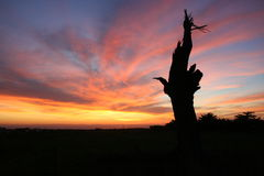 Silhouette of a dead cypress tree against a sunset sky. Stock Images